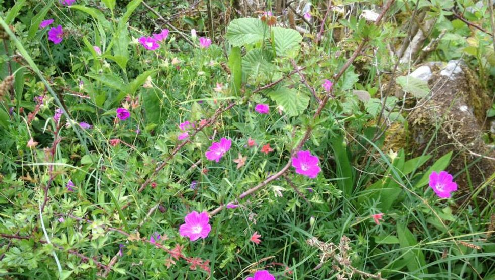 Burren Wild Flowers