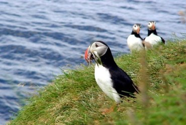 Doolin - Do - Cliffs of Moher - Festival Seabirds - Puffins